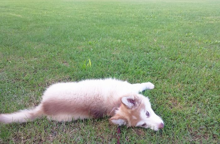 Bella (husky-malamute)
