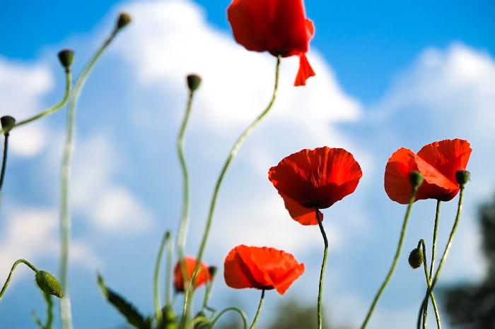 #22 Poppy Flower