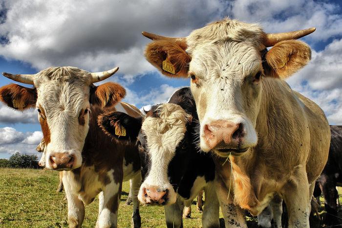3 Curious Calves