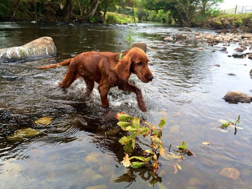 Red Setter Puppy
