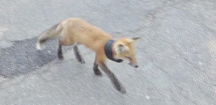 Amazing Fox Rescue