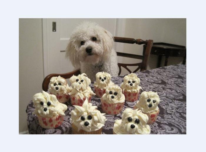 Bichon Looks Like Cupcakes