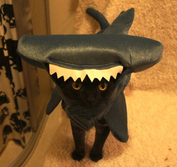 Filur - The Devon Rex Hammerhead Shark!