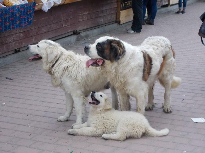 Polish Mountain Dogs