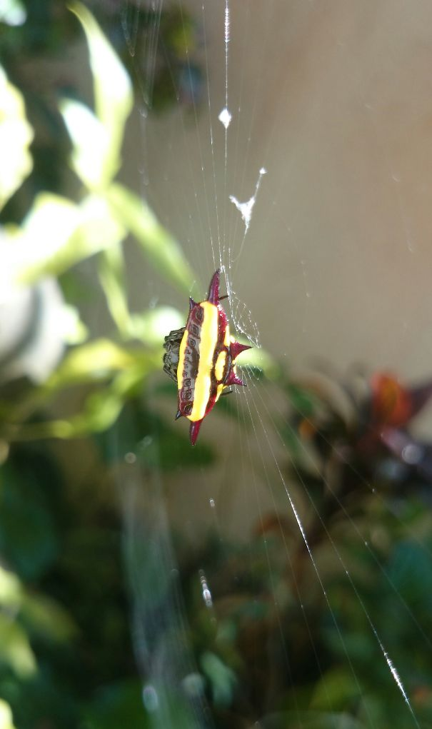 Beautiful Spider That Lives In My Backyard.