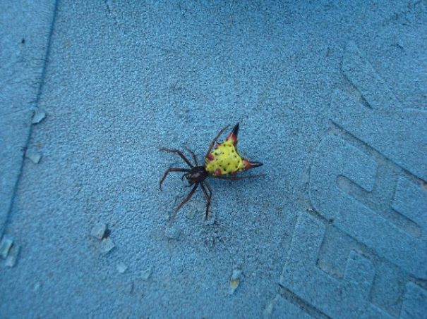 Found This Arrowhead Spider On The Porch This Summer.