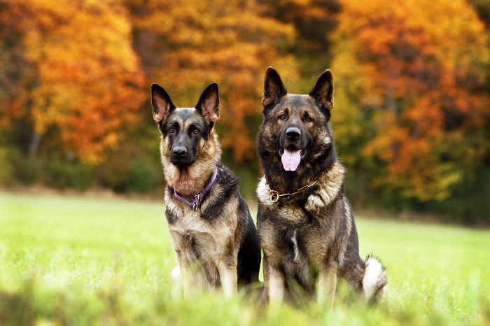 German Shepherd Couple