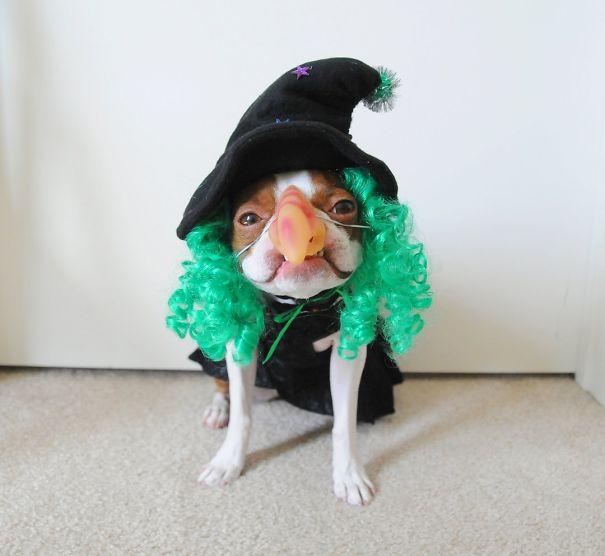 Wicked Witch Pug