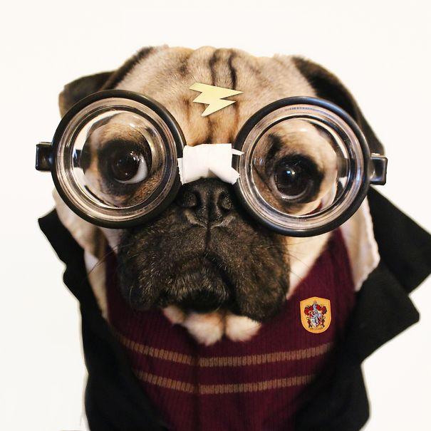 doug the pug does halloween better than you bored panda