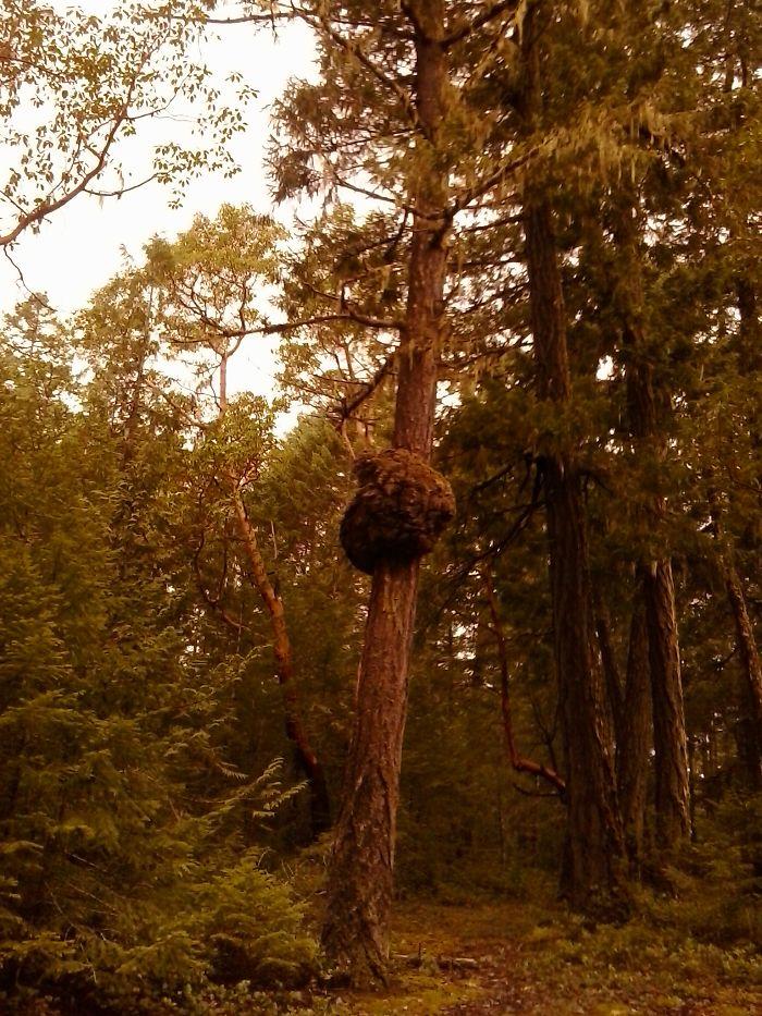 Tall Tree Trail. Vancouver Island Bc