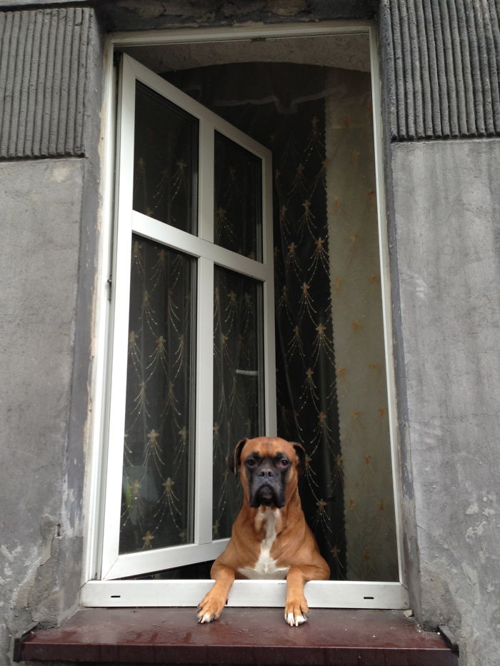 A Dog In A Window In Katowice, Silesia Region Of Poland