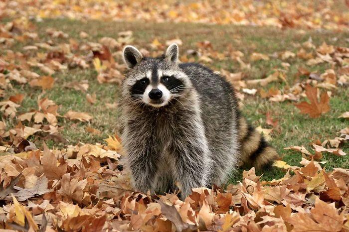 Raccoon In Autumn