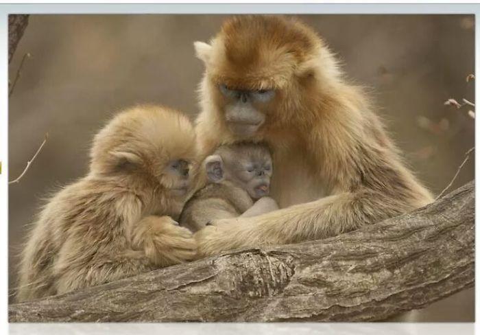 Snub Nosed Monkeys..
