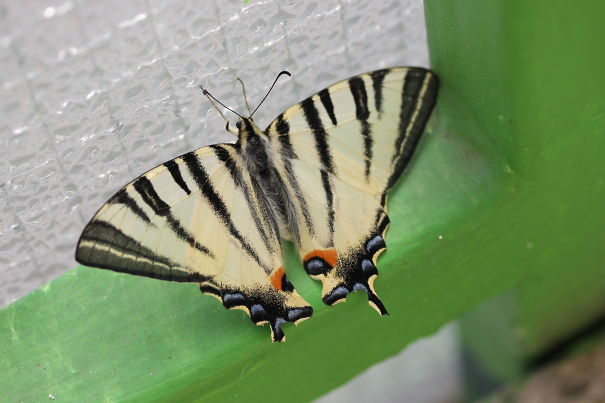Papilio Machaon Visited Us On Our Balcony In The Hot Summer. (brno, Czech Republic)