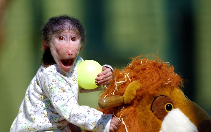 Cute Baby Monkey From Skopje Zoo Gets Treated Like A Child