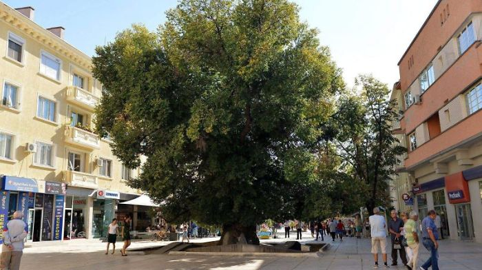 1100 Years Old Elm, Sliven (bulgaria) [european Tree Of The Year 2014]