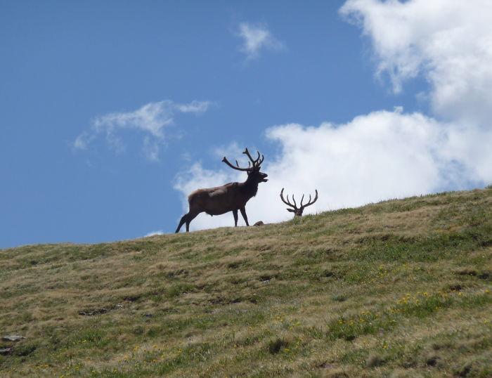 Elk Bugling On Trail Ridge Road, Co