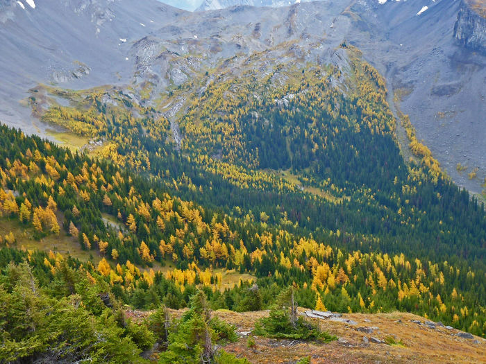 Larch And Evergreen Forest, Canadian Rockies