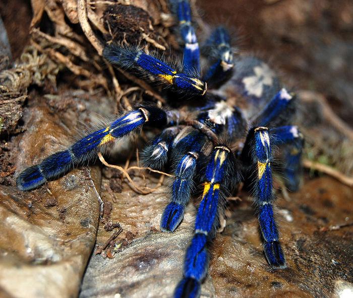 """cobalt Blue"" Tarantula"