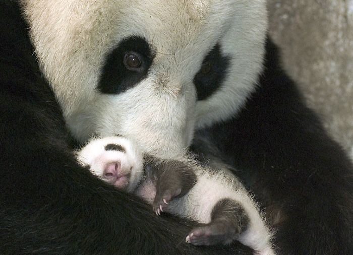 A Panda And Her Cub