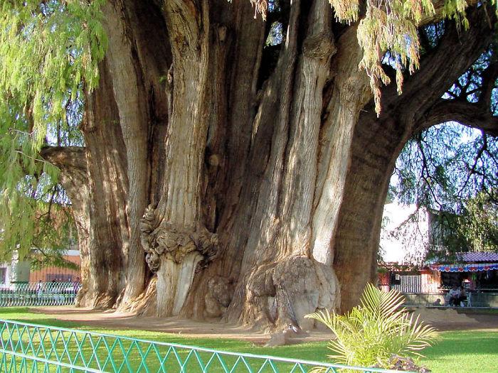 Tule Tree, Oaxaca Mexico