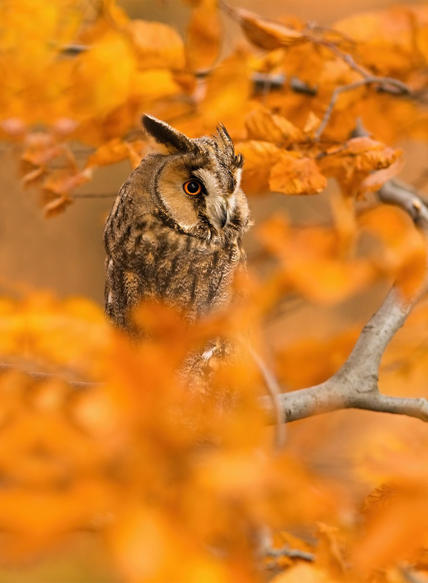 autumn owl treat fall - photo #17