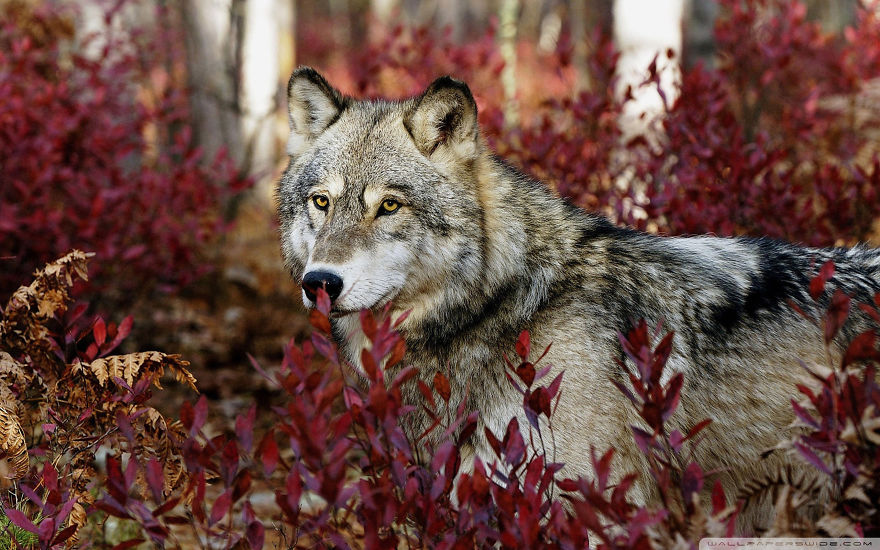 Mighty Wolf In Forest