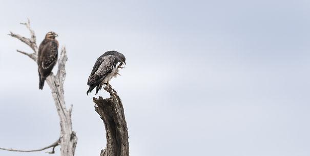 Eagle Couple