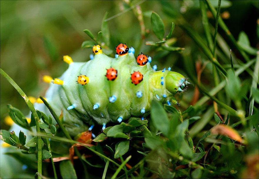 caterpillar-moth-butterfly-before-after-metamorphosis-6-1