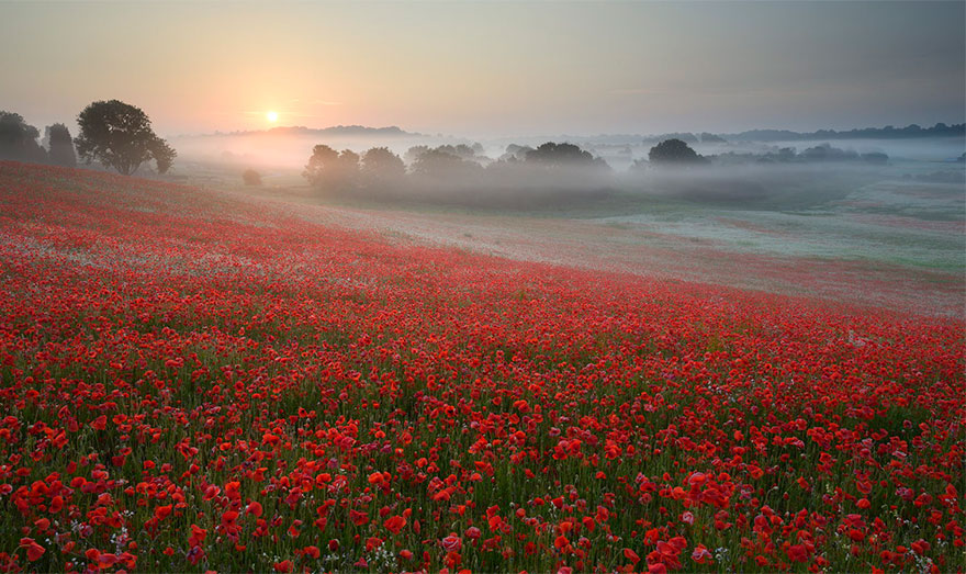 Misty Fields Of Poppies, England