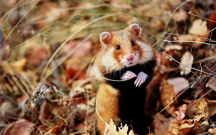 Autumn Hamster