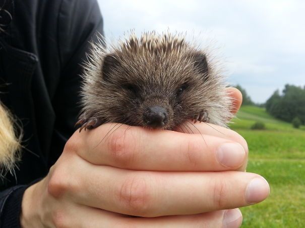 First, We Found A Hedgehog Nest, In A Couple Of Months, This Little Fellow Appeared