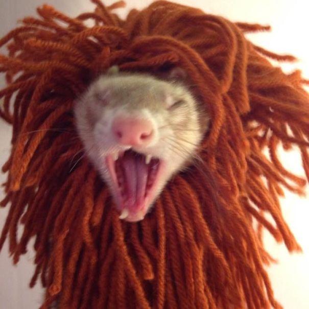 Griff The Lion Ferret
