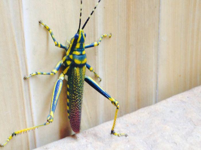 Blue Grasshoper