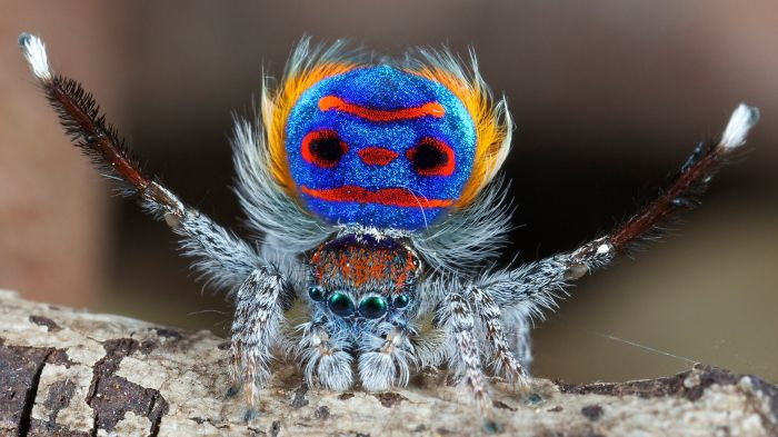 Maratus Volans (peacock Spider)