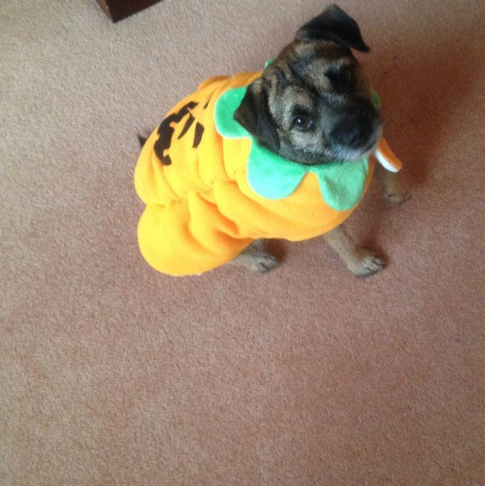 Pumpkin Terrier