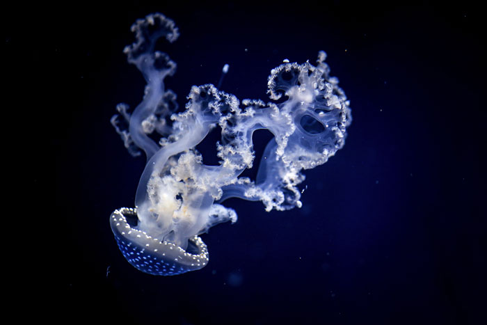 Post Your Favourite Jellyfish Photos!