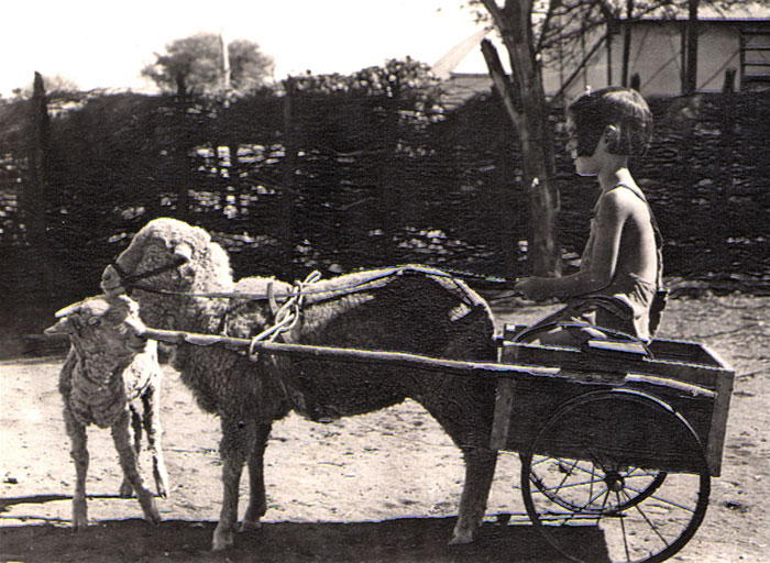 Outback Western Australia. 1945. Dad Made The Cart For Out Pet Sheep.