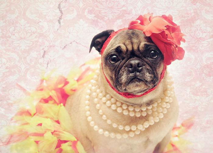 Debutante Pug