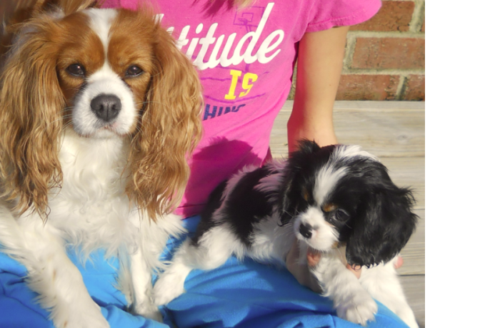 My 2 Adorable Cavalier King Charles.