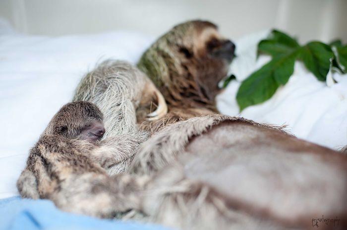 3 Toed Sloth:mama And Newborn