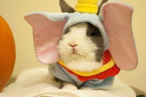 Dumbo Guinea Pig