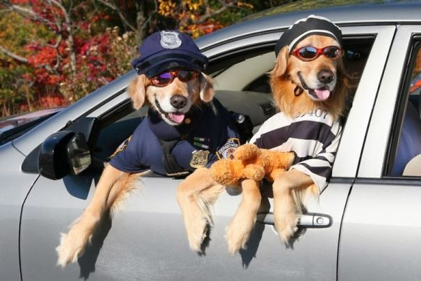Cop And A Burglar Golden Retrievers