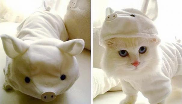 It's A Pig, Not A Cat!