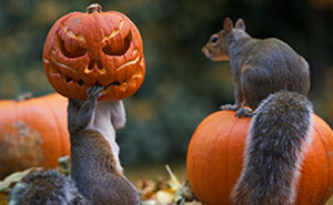 Squirrel Tries To Steal A Carved Pumpkin From Photographer's Backyard