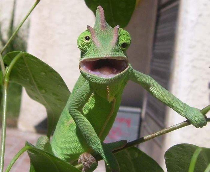Shocked Chameleon