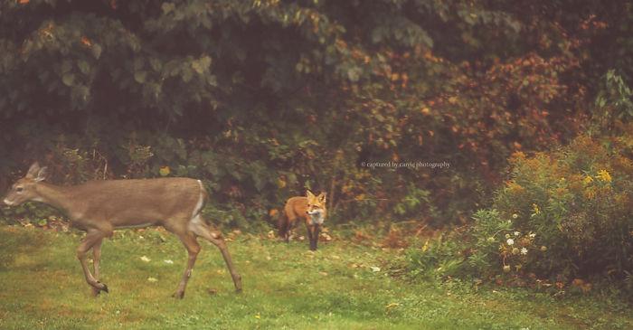 Fall Fox & Deer