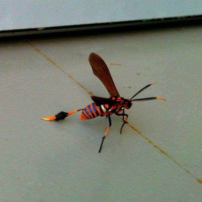 Texas Wasp Moth