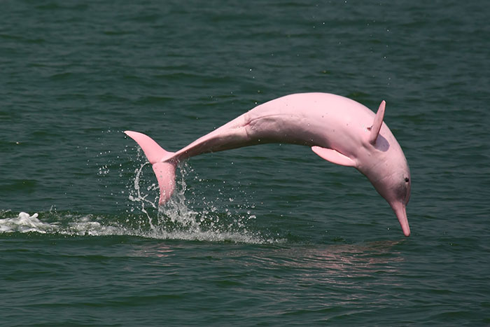 Pink Dophin