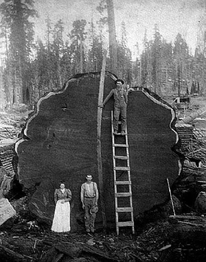 Cutting The Big Trees